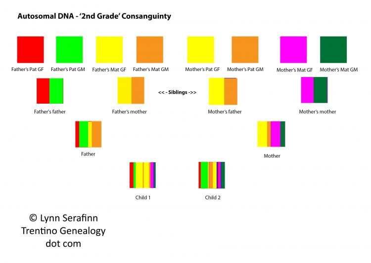 Autosomal DNA, 2nd grade consanguinity. Diagram by Lynn Serafinn, http://trentinogenealogy.com
