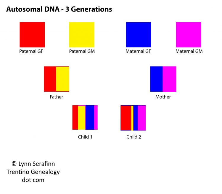Autosomal DNA, 3 Generations. Diagram by Lynn Serafinn, https://trentinogenealogy.com